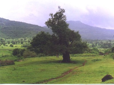 A beautiful tree on the way to rajmachi